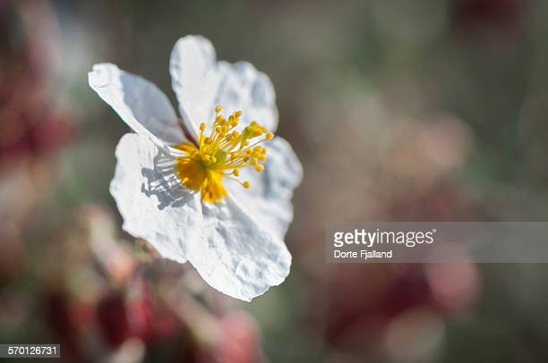 a wildflower in the sun - dorte fjalland stock pictures, royalty-free photos & images