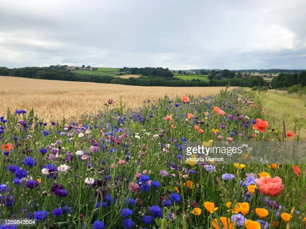 wildflower meadow 1 - meadow stock pictures, royalty-free photos & images