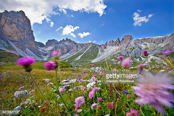 Wildflower Meadow in the Dolomites