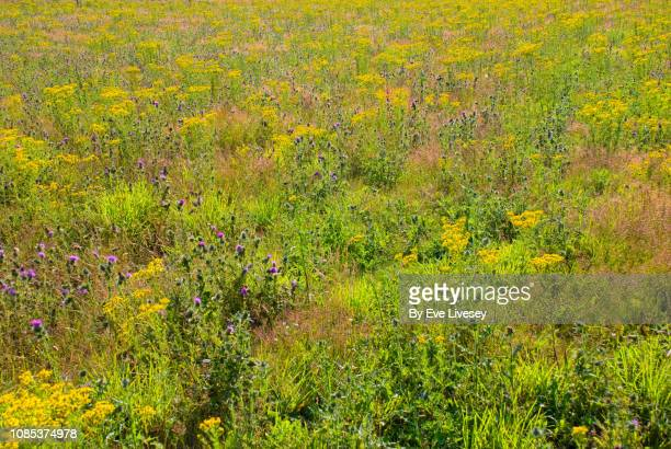 wildflower meadow - wildflower stock pictures, royalty-free photos & images