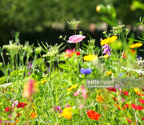 wildflower meadow - meadow stock photos and pictures