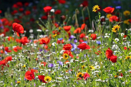 Wildflower Meadow 1164806616