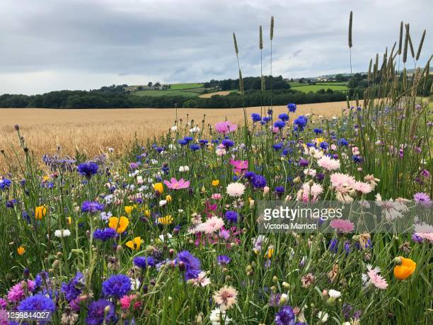 wildflower meadow - meadow stock pictures, royalty-free photos & images