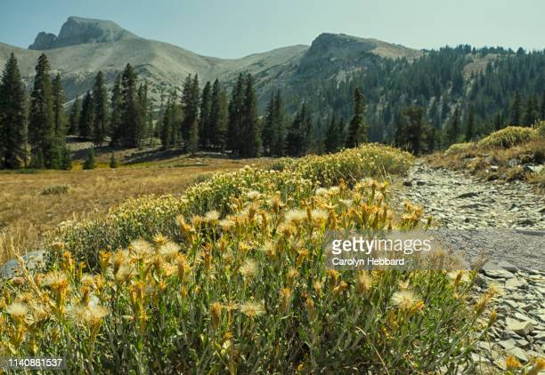 wildflower pathway landscape at great basin national park - great basin stock pictures, royalty-free photos & images
