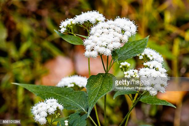 wildflower - valerian plant stock pictures, royalty-free photos & images