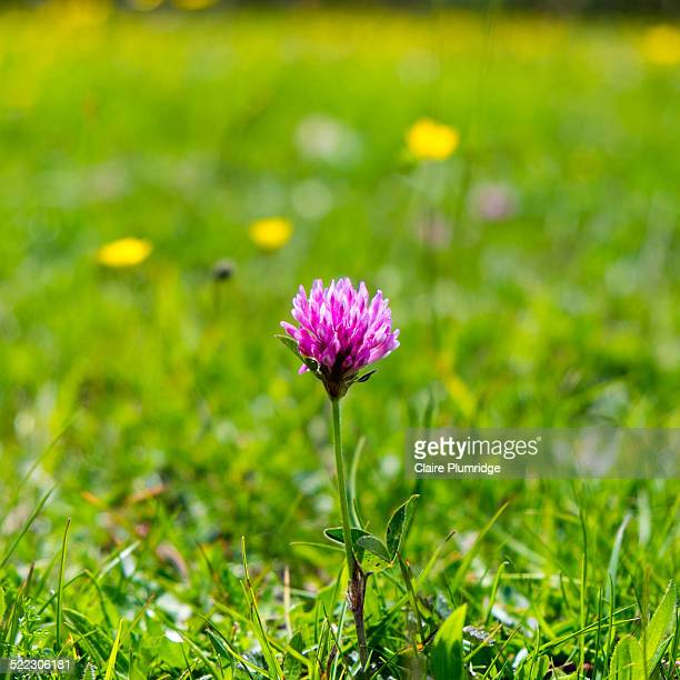 wildflower - red clover - claire plumridge stock pictures, royalty-free photos & images