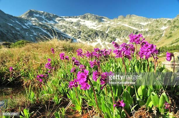 Wildflower(Primula deorum),Rila mountain, Bulgaria