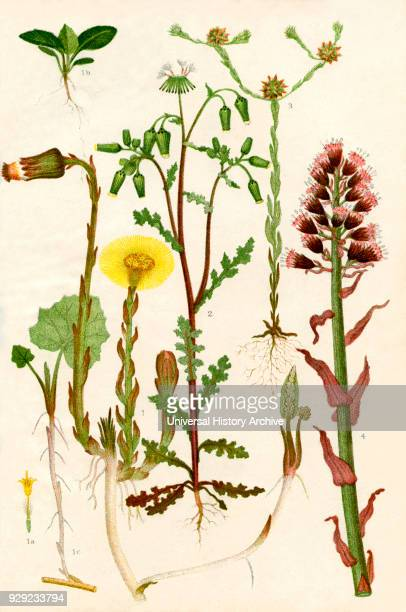 Wildflowers 1 Colt's foot 1a One of the florets of the capitulum 1b A seedling Colt's foot 1c A sucker of Colt's foot 2 Groundsel 3 Cudweed 4...