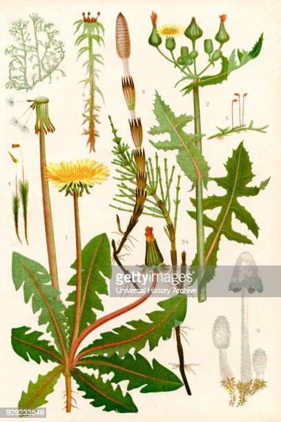 Wildflowers 1 Dandelion 2 Rough Sowthistle 3 Common Horsetail 3a Barren shoot of the Common Horsetail 4 Hair moss 5 A Moss 6 Bog moss 7 A Lichen...