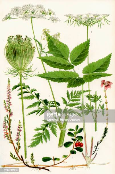 Wildflowers 1 Wild Carrot 2 Wild Chervil 2 Gout weed 4 Fool's Parsley 5 Ling 6 Cowberry 7 Cross leaved Heath
