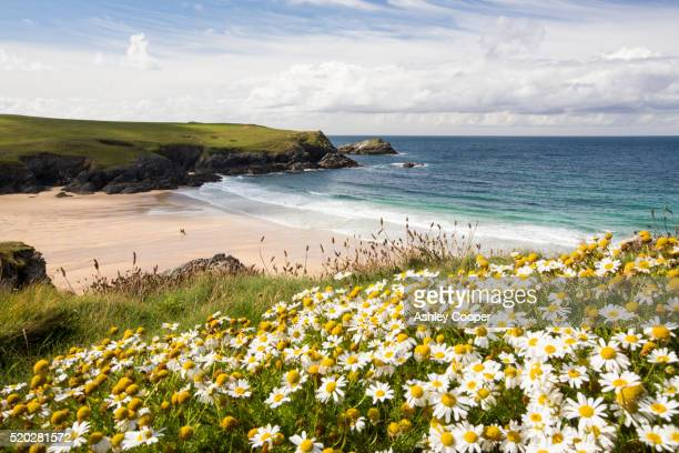 wildflowers above porth joke on pentire point, near newquay, cornwall, uk - cliff stock pictures, royalty-free photos & images
