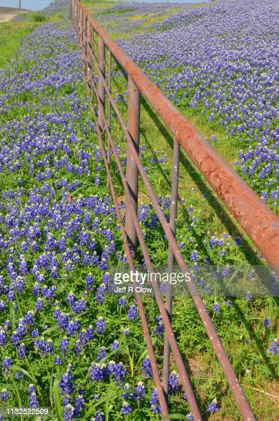 Wildflowers along a fence in North Texas in the springtime