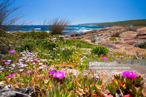 wildflowers along coast of cape naturaliste, western australia - western australia stock pictures, royalty-free photos & images