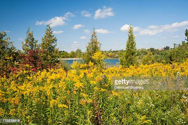 wildflowers amongst the pines - goldenrod stock pictures, royalty-free photos & images