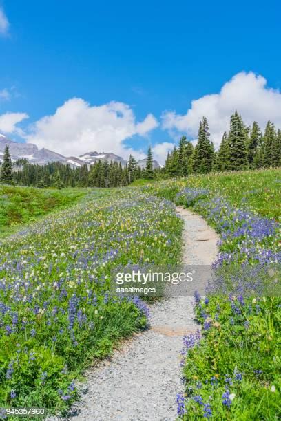 wildflowers and hiking trail in mount rainier national park,washington state,usa - florida us state - fotografias e filmes do acervo