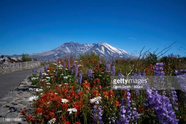 wildflowers and mt st helens - mount st. helens ストックフォトと画像