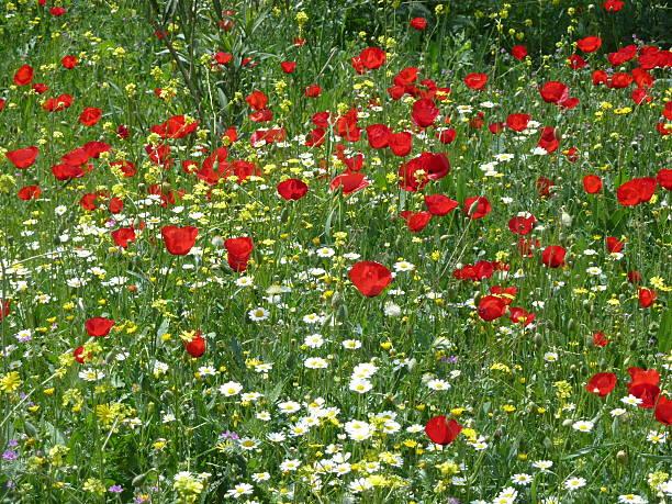 Wildflowers and poppies on Ar Radwan