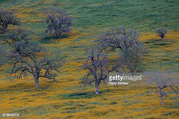 Wildflowers are seen among oak trees at dusk near California State Route 223 on March 4 2016 west of Tehachapi California Despite hopes that the...