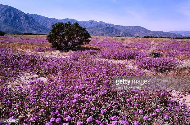 wildflowers at anza borrego desert state park - anza borrego desert state park stock pictures, royalty-free photos & images