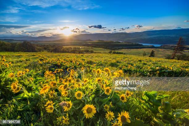 wildflowers at dawn - columbia river gorge stock pictures, royalty-free photos & images