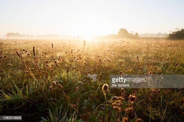 wildflowers at idyllic landscape and fog during sunrise in the morning, rural scene - wiese stock-fotos und bilder