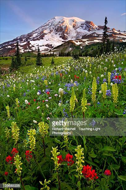 wildflowers at sunrise on mt. rainier - mt rainier stock pictures, royalty-free photos & images