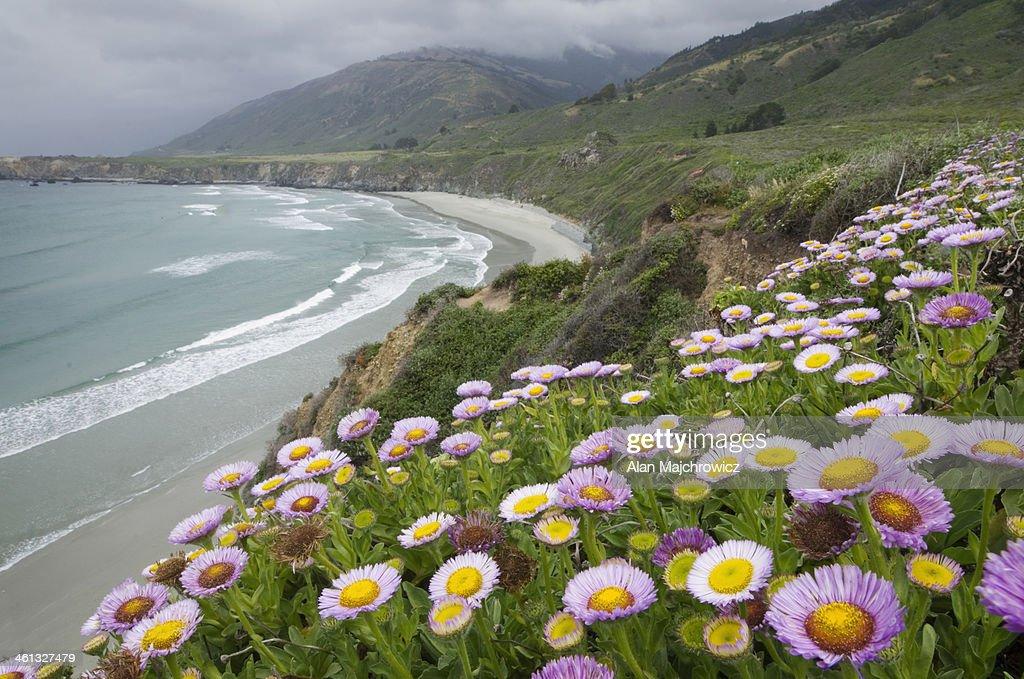 wildflowers big sur california ストックフォト getty images