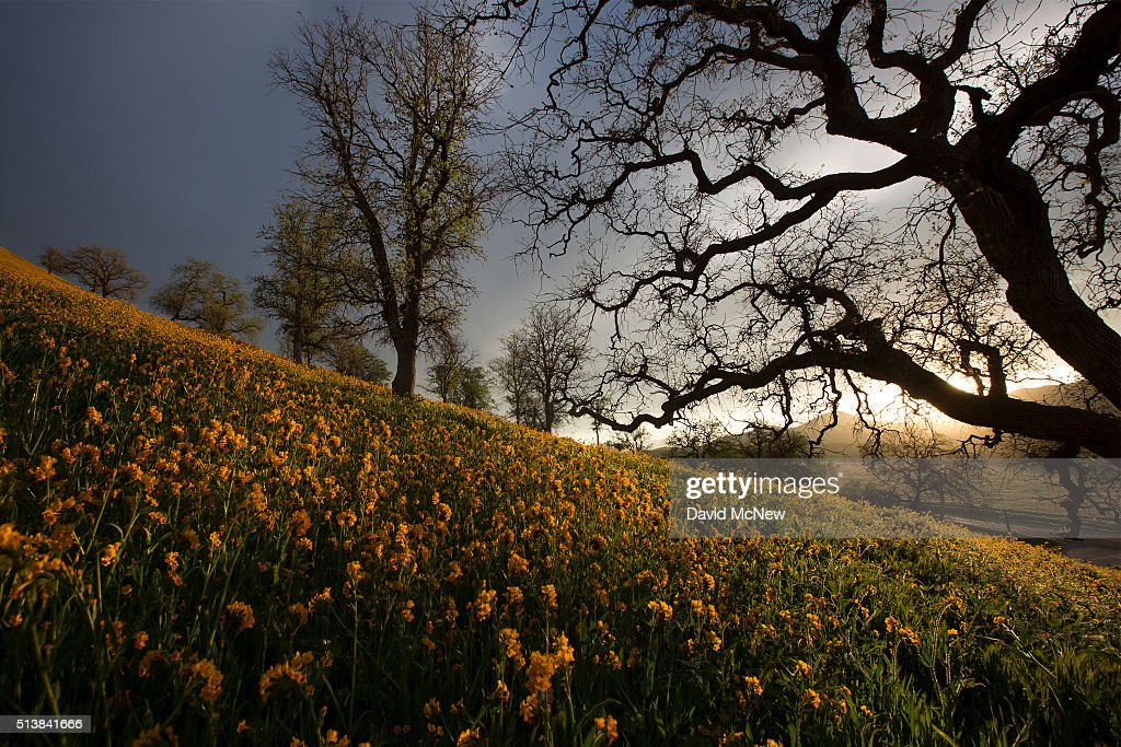 Wildflowers bloom among oak trees near California State Route 223 on March 4, 2016 west of Tehachapi, California. Despite hopes that the major El Nino effect would bring drought-busting rains to southern California, the storms have been missing the region, delivering only half the rain of a normal year. After a brief period of heavy rain in January, Southern California experienced one of the hottest Februarys ever recorded, prompting early scenic wildflower blooms in several desert and foothill regions.