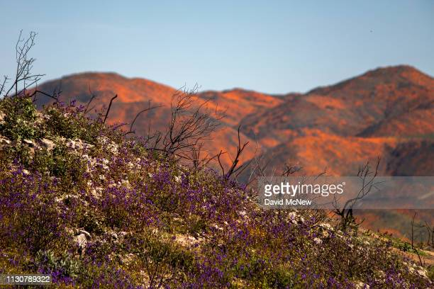 Wildflowers bloom among the charred remains of chaparral brush that was burned away by the Holy Fire as the socalled super bloom spreads across the...