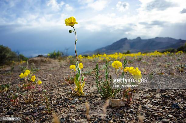 Wildflowers bloom at base of Funeral Mountains, Death Valley California (Super Bloom 2016)