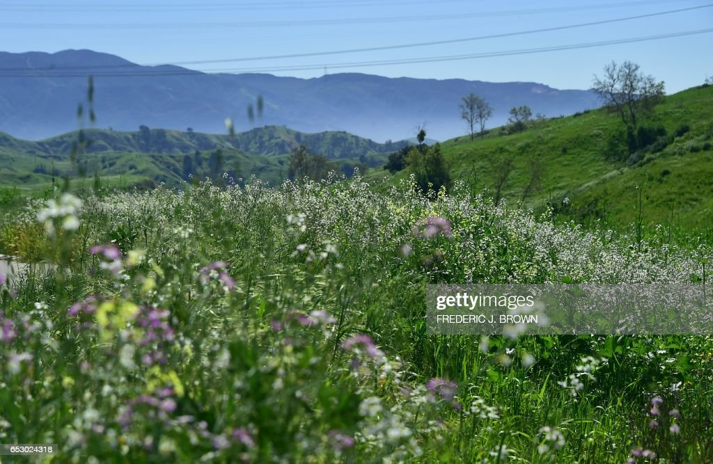 Wildflowers bloom at Chino Hills State Park in Chino Hills, California on March 12, 2017 amid an explosion of wildflowers blooming across southern California following this winter's rain after a severe five-year drought. /
