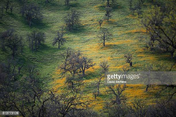 Wildflowers bloom in an oak forest that has been stressed by years of drought near California State Route 58 on March 4 2016 west of Tehachapi...