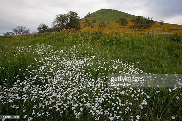 Wildflowers bloom near California State Route 223 on March 4 2016 west of Tehachapi California Despite hopes that the major El Nino effect would...