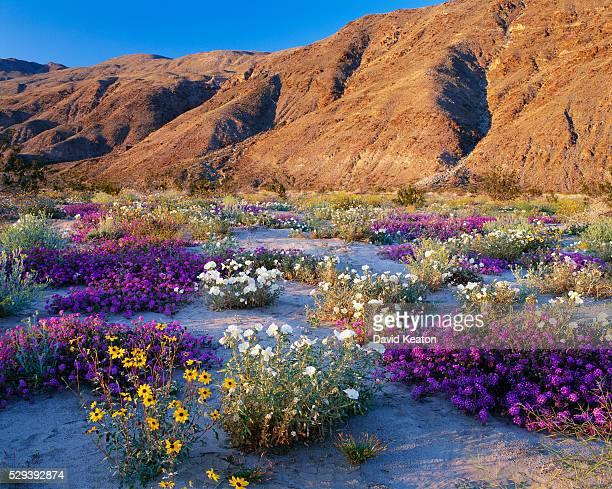 Wildflowers Blooming in Desert