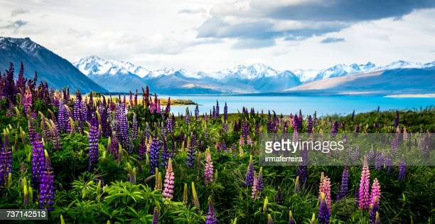 Wildflowers by Lake Tekapo, Canterbury, New Zealand