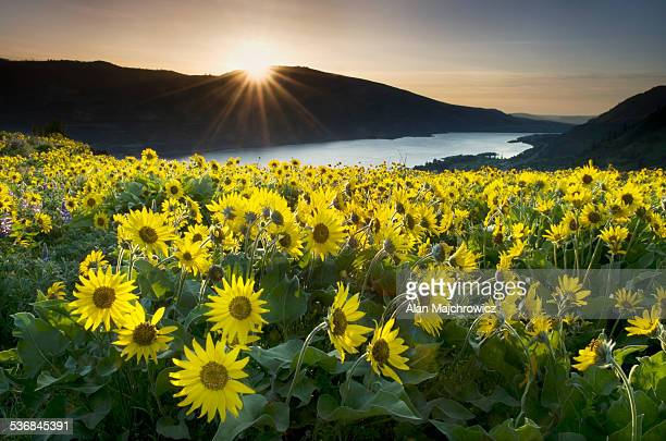 Wildflowers, Columbia River Gorge, Oregon