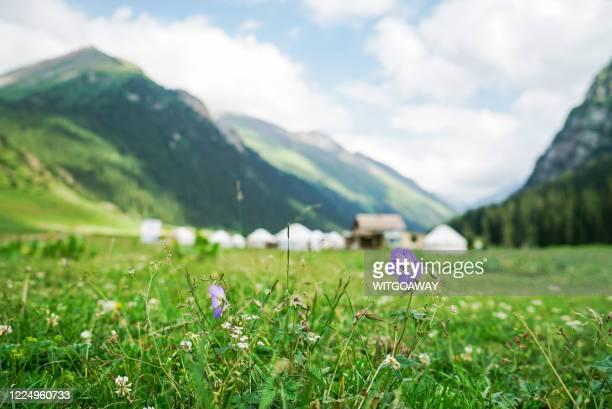wildflowers during summer , altyn arashan, krygzstan - kirgizië stockfoto's en -beelden