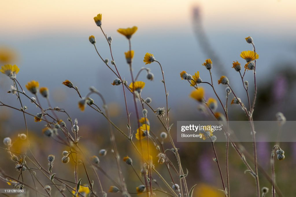 CA: Wildflower 'Super Bloom' As Wet Winter Ends California Drought
