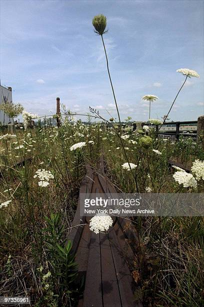 Wildflowers grow on the rusted tracks of the 15mile High Line an abandoned elevated spur built 70 years ago to carry freight to Manhattan's West Side...