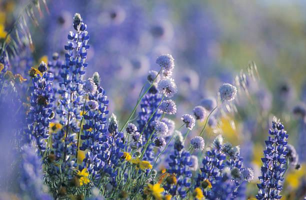 Wildflowers in a field, Gorman, California. USA