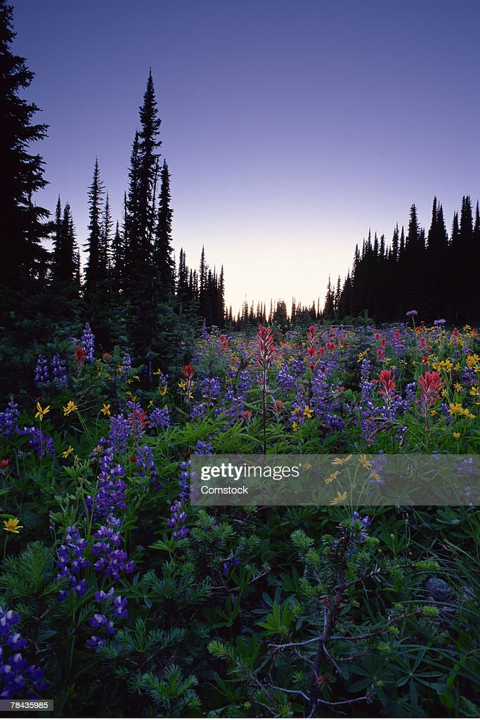 Wildflowers in alpine meadow at Mount Revelstoke National Park , British Columbia , Canada : Stockfoto