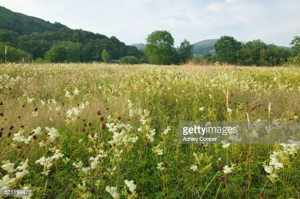 wildflowers in ambleside meadow - meadow stock pictures, royalty-free photos & images