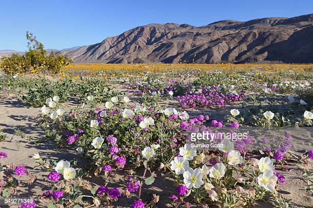 wildflowers in anza borrego desert, california - anza borrego desert state park stock pictures, royalty-free photos & images