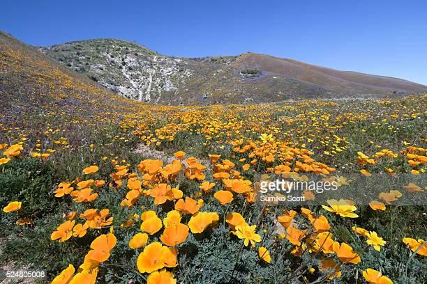 Wildflowers in bloom at Elizabeth Lake near Antelope Valley, California