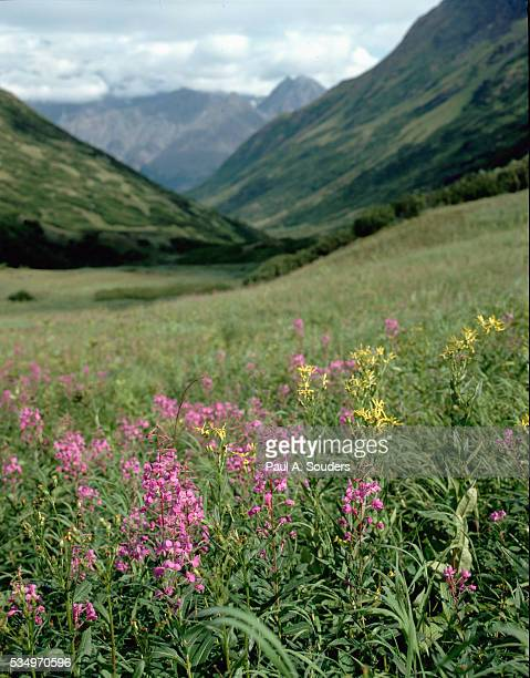 wildflowers in bloom - chugach state park stock pictures, royalty-free photos & images