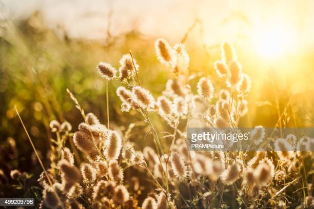Wildflowers in meadow during sunrise