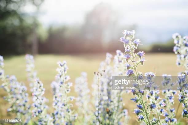 wildflowers in meadow - gotland bildbanksfoton och bilder
