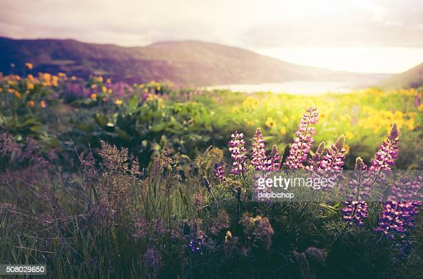 wildflowers in morning sunrise - washington state stock pictures, royalty-free photos & images