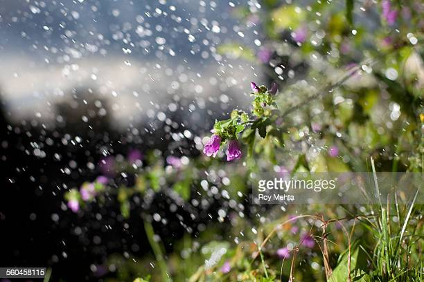 wildflowers in the rain