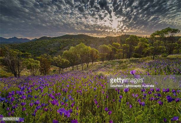 Wildflowers in the spring at Bunaroo valley in the southern region of Flinders Ranges National Park, South Australia